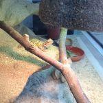 Další fotky od chovatele agama vousatá